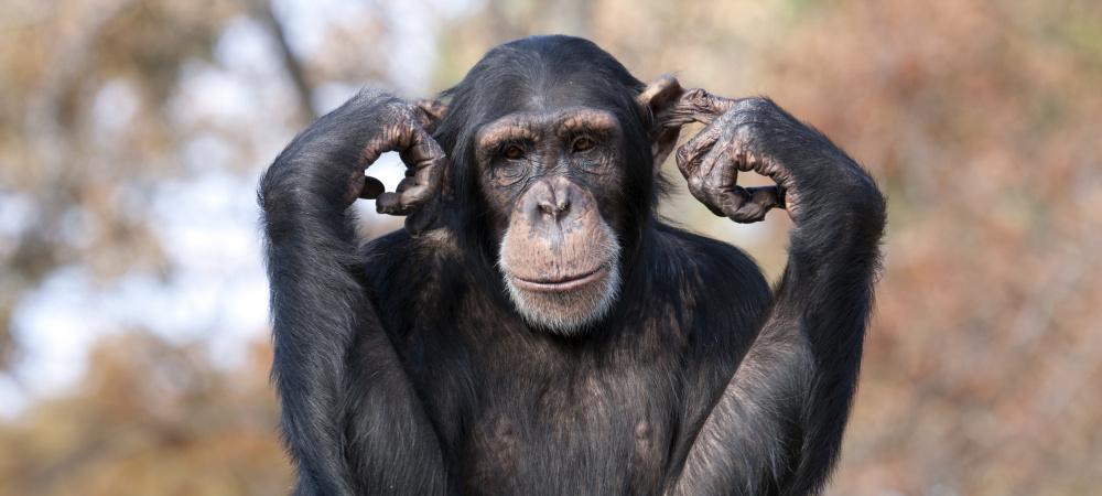 Schimpanse steckt sich die Finger in die Ohren