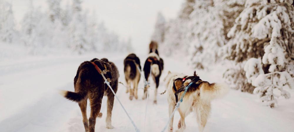 Hundeschlittenfahrt in Lappland