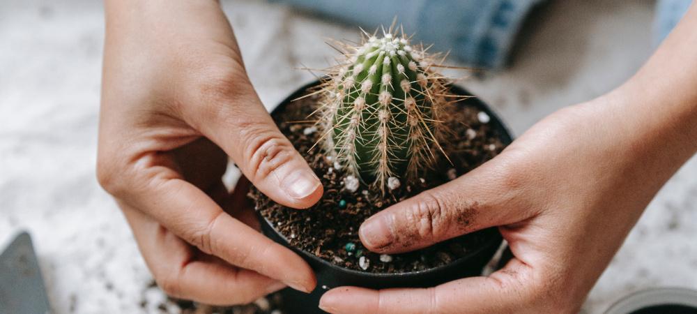 Frau pflanzt Kaktus ein