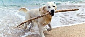 Hund mit Stock im Meer