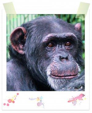 Schimpanse Bibi