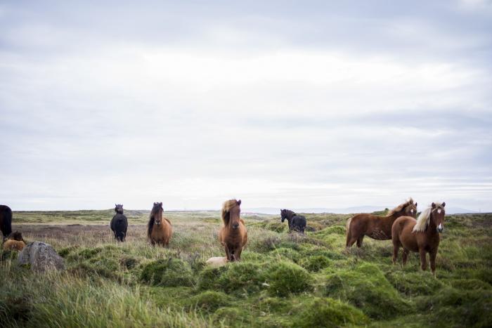 Islandpferde-Herde