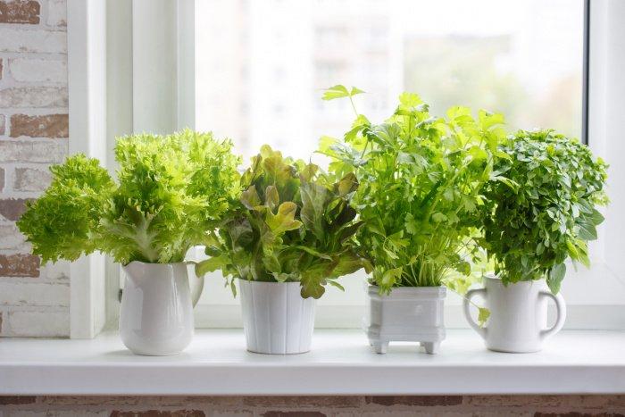 Salate lassen sich auf der Fensterbank anpflanzen