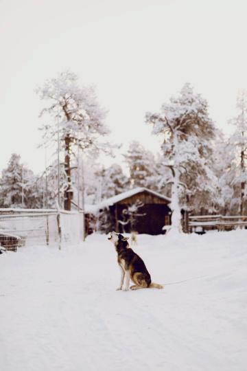 Husky in Lappland